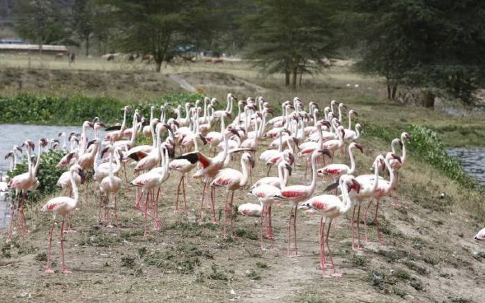 Krmzqpa2St1R78607F211A59D9A Flamingos Face Death Over Changing Water