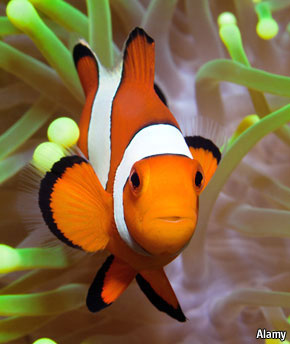 Marine biology Finding Nemos role  The Economist