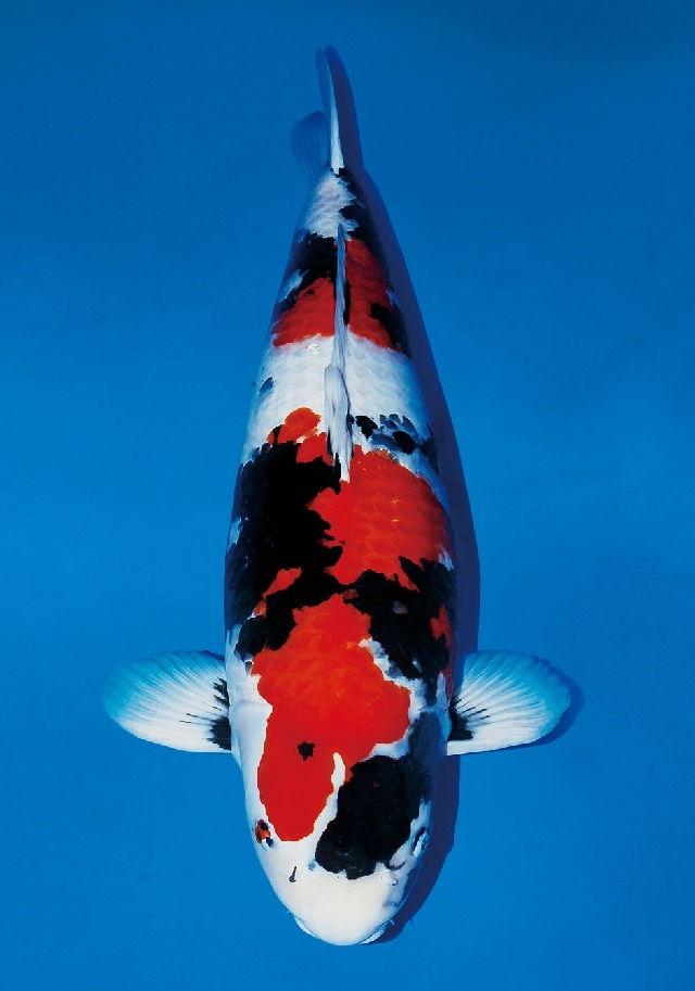 Ikan Koi Termahal : termahal, Harga, Termahal, Dunia, Milyaran