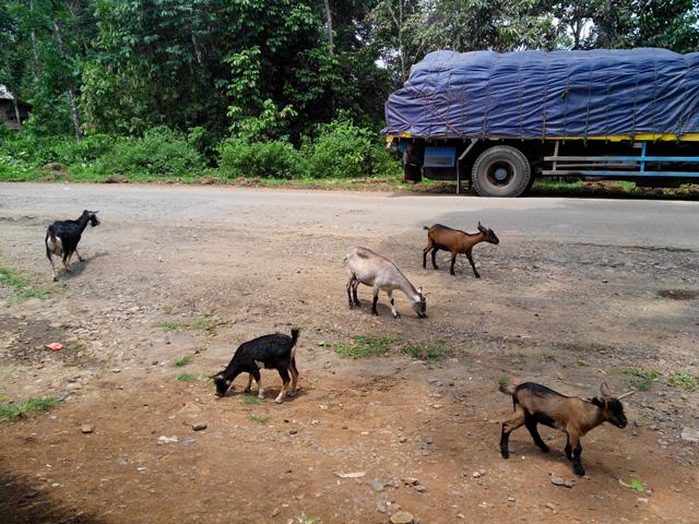 Ada sekawanan kambing yang cukup menghibur ketika beristirahat makan siang