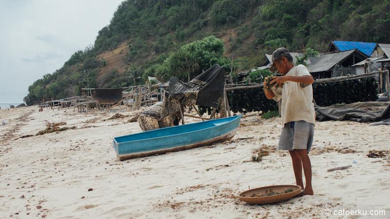 Seorang petani rumput laut sedang mengolah rumput laut di pasir pantai.