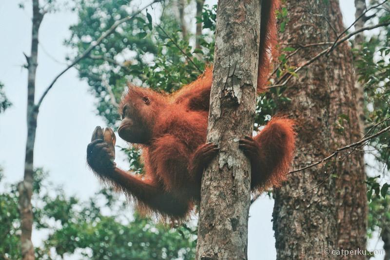 Taman Nasional Tanjung Puting, the last Orangutan sanctuary