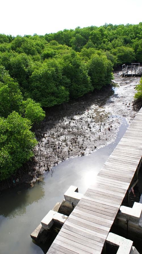 Jalan setapak wisata trekking mangrove