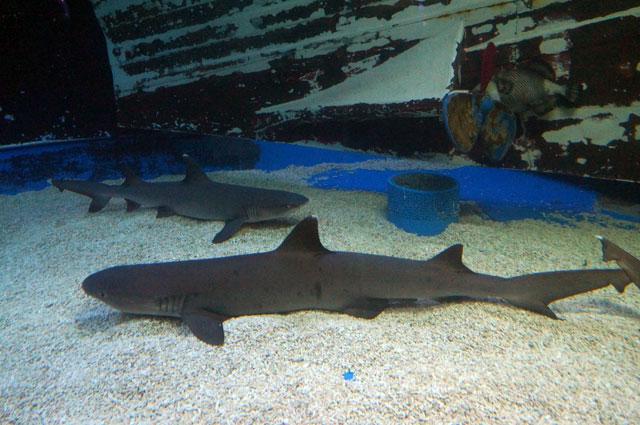 You can meet Mr Shark in Manila Ocean Park