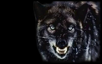 Angry Wolf Wallpaper Desktop