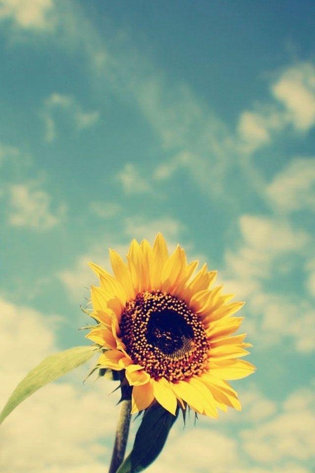 Sunflower Wallpaper Desktop : sunflower, wallpaper, desktop, Wallpaper, Iphone, Sunflower, Pictures