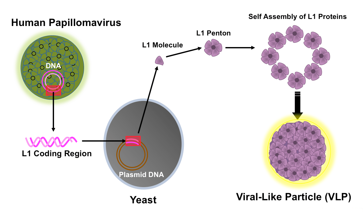 hight resolution of hpv vaccines conceptual rendition of production of human papillomavirus vaccine the vaccine process involves recombinant synthesis of figure 10