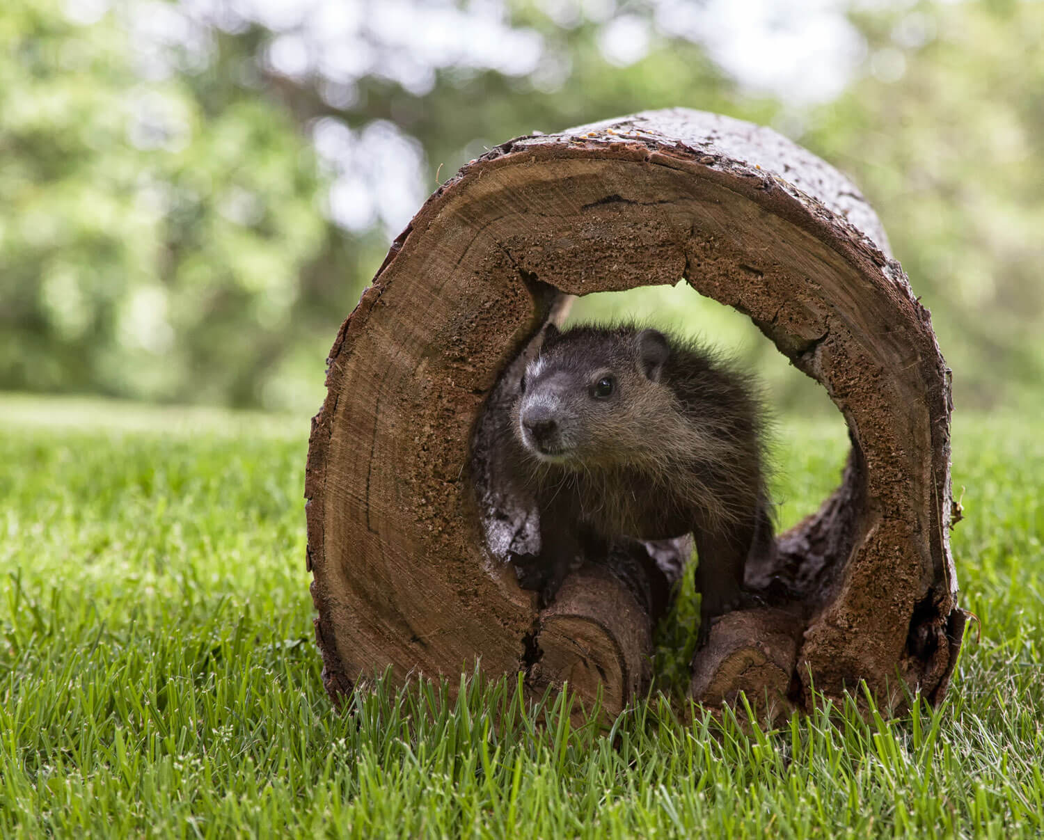 10 Facts About Groundhog Day Almanac Surfnetkids