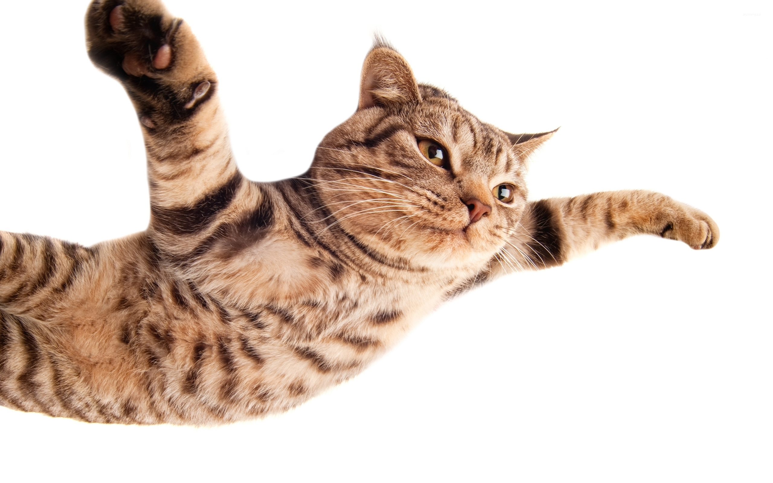 Flying Cat Wallpaper Wwwpixsharkcom Images Galleries
