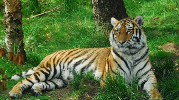Tiger in the forest wallpaper Animal wallpapers 43127
