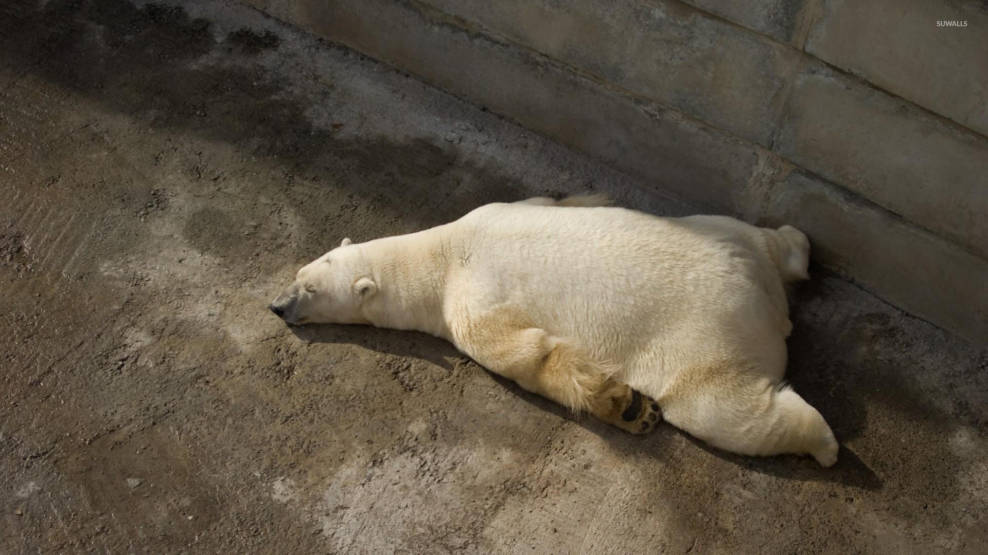 tired polar bear wallpaper