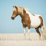 White And Brown Horse Wallpaper Animal Wallpapers 46886