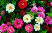 Colorful Zinnias wallpaper - Flower wallpapers - #47229