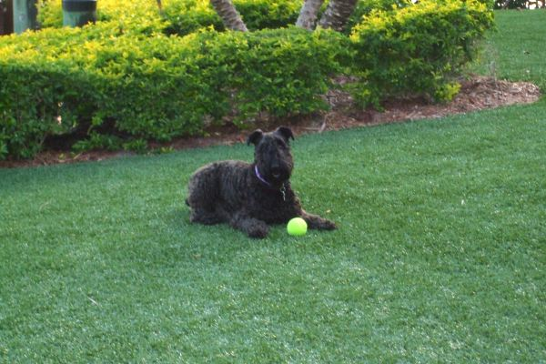 Synthetic Turf International SoftLawn Pet Turf K9 Artificial Grass