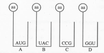 Find the sequence of binding of the following aminoacyl t-RN