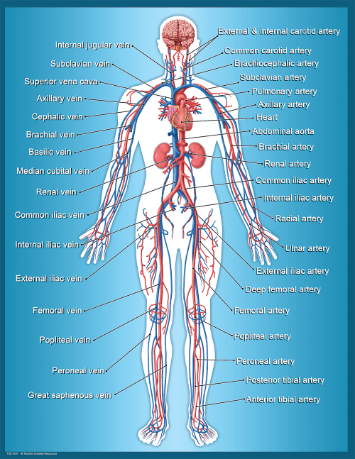 small resolution of Circulatory System Chart - TCR7647   Teacher Created Resources