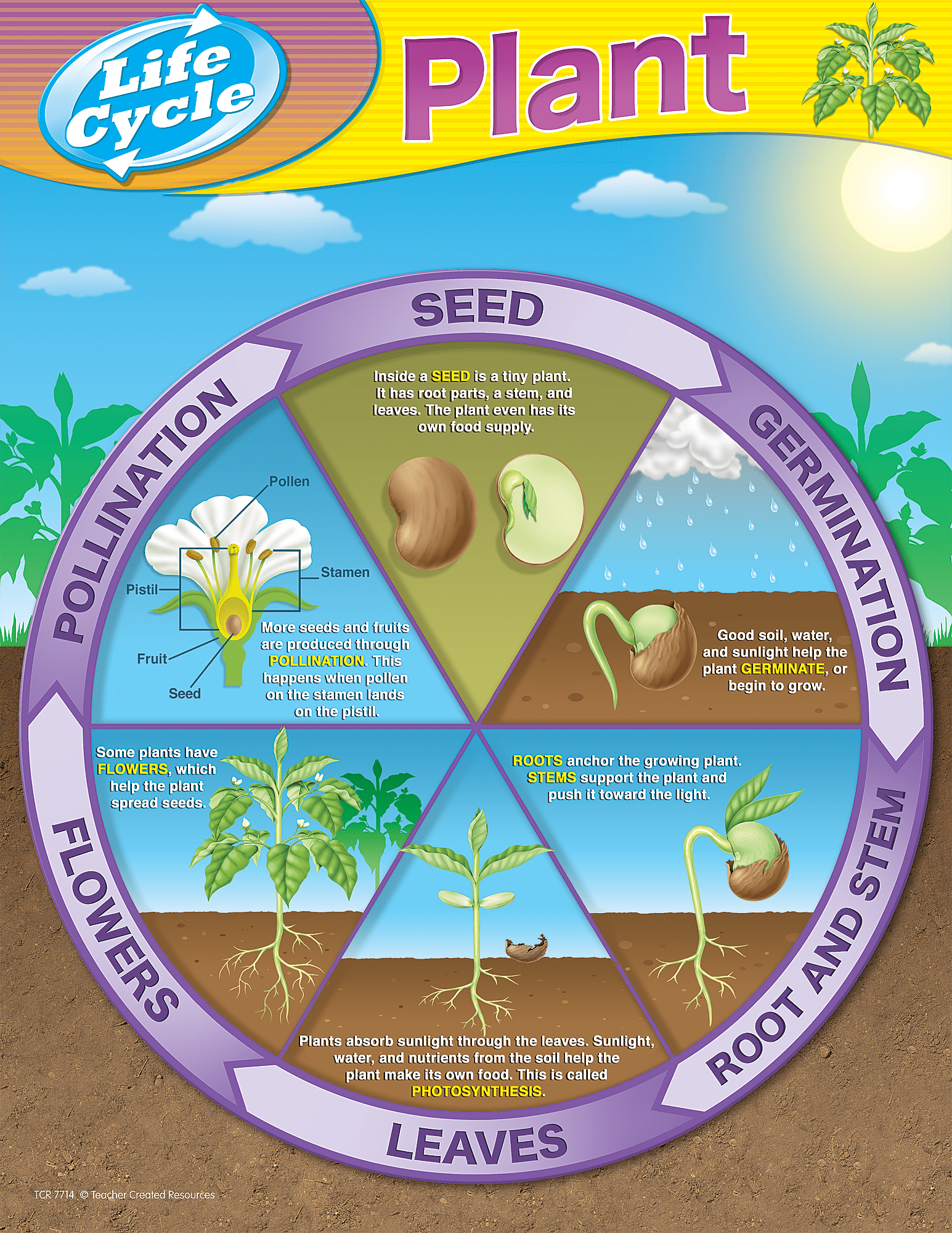 sunflower plant life cycle diagram ford fiesta wiring 2009 cycles chart tcr7714 teacher created resources