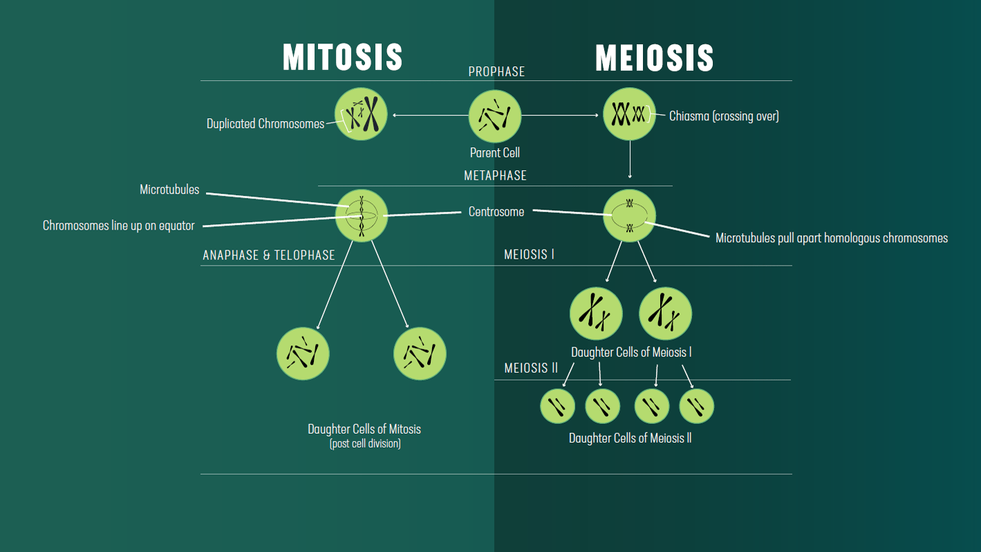 Mitosis Vs Meiosis Key Differences Chart And Venn