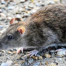 CDC Identifies Seoul Virus Outbreak Among Pet Rat Owners | The ...
