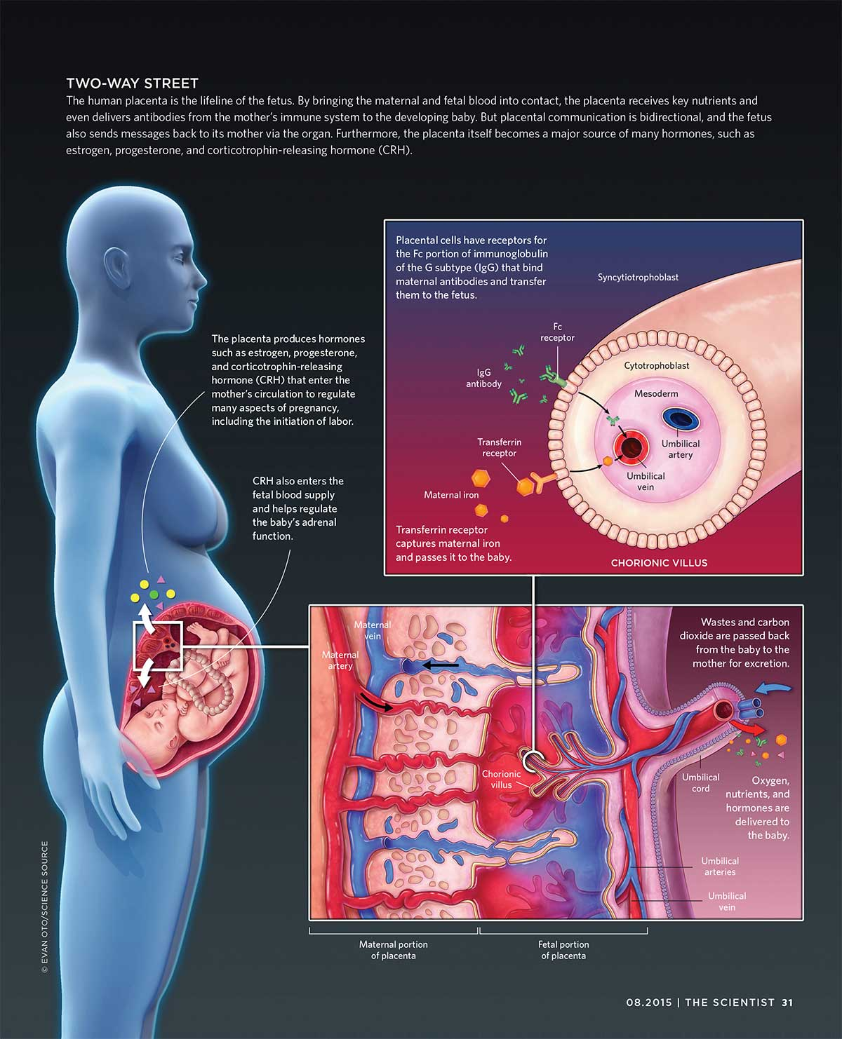 hight resolution of placental cross talk