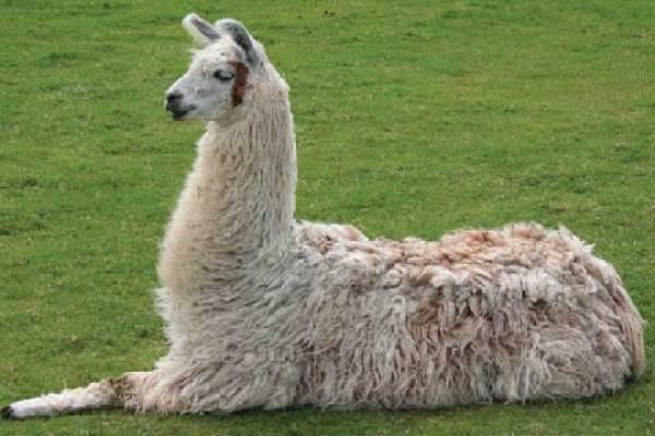 Llamas as Lab Rats | The Scientist Magazine®