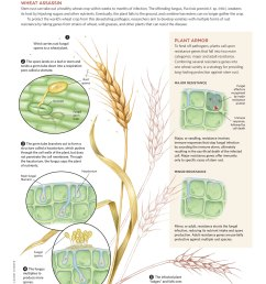 diagram of a wheat plant [ 1200 x 1482 Pixel ]