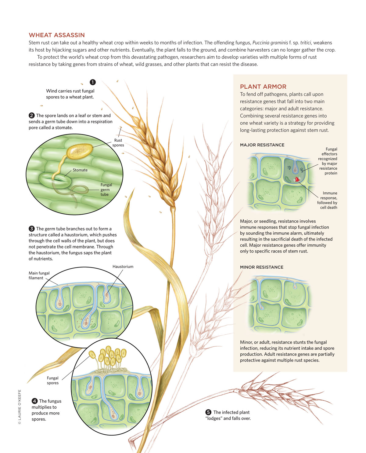 hight resolution of diagram of a wheat plant