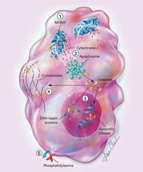 small resolution of apoptosis
