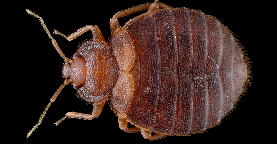 BedBug Madness The Psychological Toll of the Blood