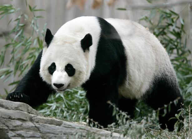 National Zoo Reports Newborn Panda Cub Has Died  The Atlantic