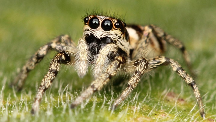 jumping spiders can see