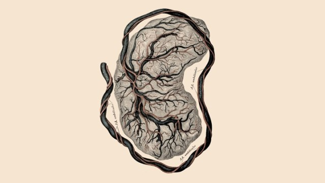 Une illustration d'un placenta
