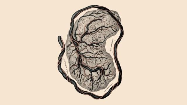 Eine Abbildung einer Plazenta