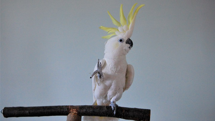 why snowball the parrot