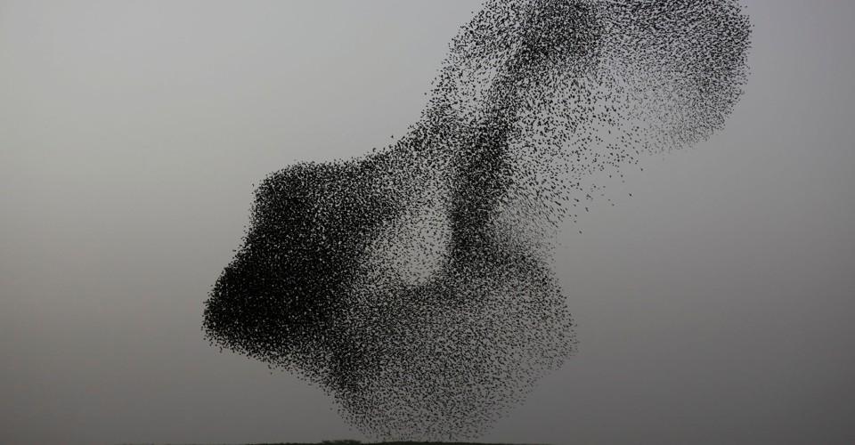 The Murmurations of Starlings