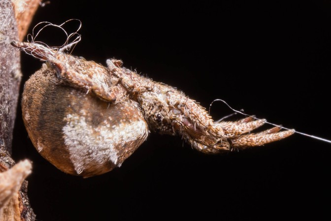 Hyptiotes, the triangle weaver spider.