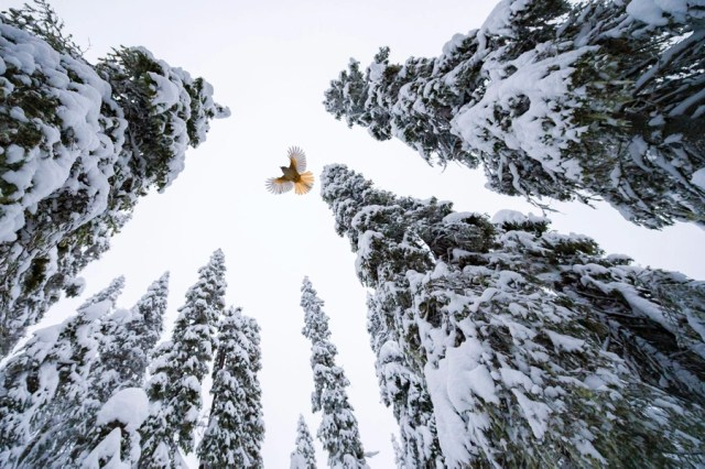 A small bird flies above the photographer, among snow-covered pine trees.