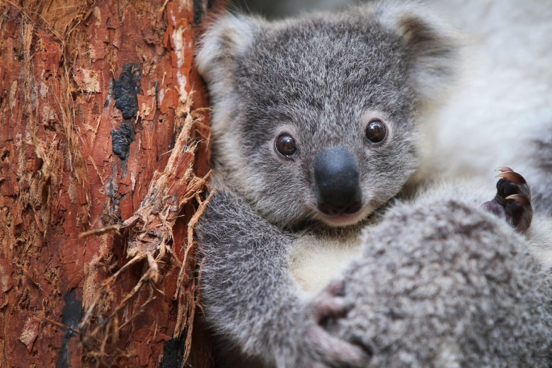 A young koala looks toward the camera.