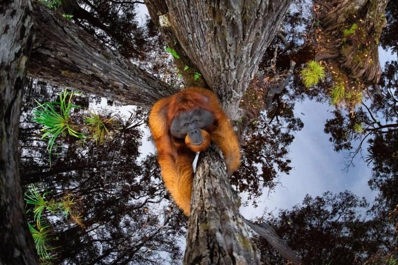 An orangutan climbs a tree toward the photographer.