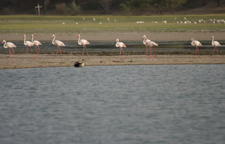 Thol Lake in Gujarat, today a biodiverse wildlife hub, could be affected by pollutants in the long run. Credit: Emmanuel Dyan/Flickr. CC BY