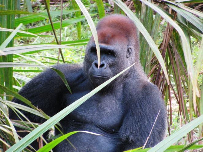 Fernan Vaz Lagoon Gorilla