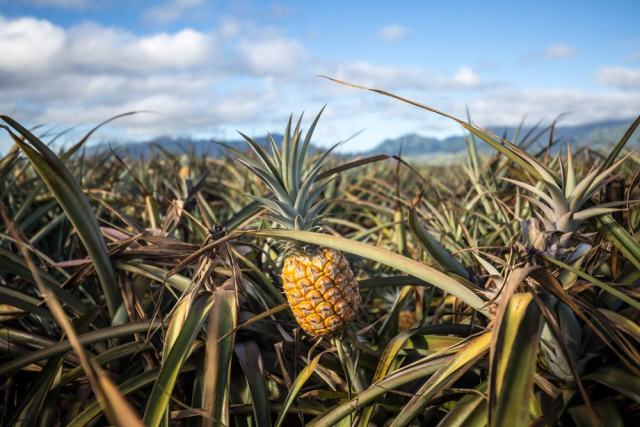 Maui Pineapple Farm