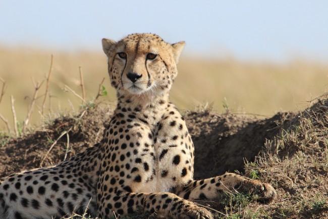 A cheetah's gaze| ©shotinaframe/ Flickr