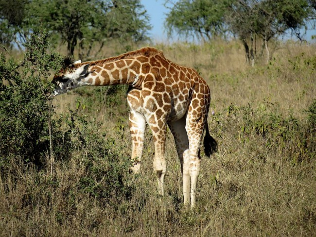 Rothschild giraffe, Kenya | © 58874424@N07 / Flickr