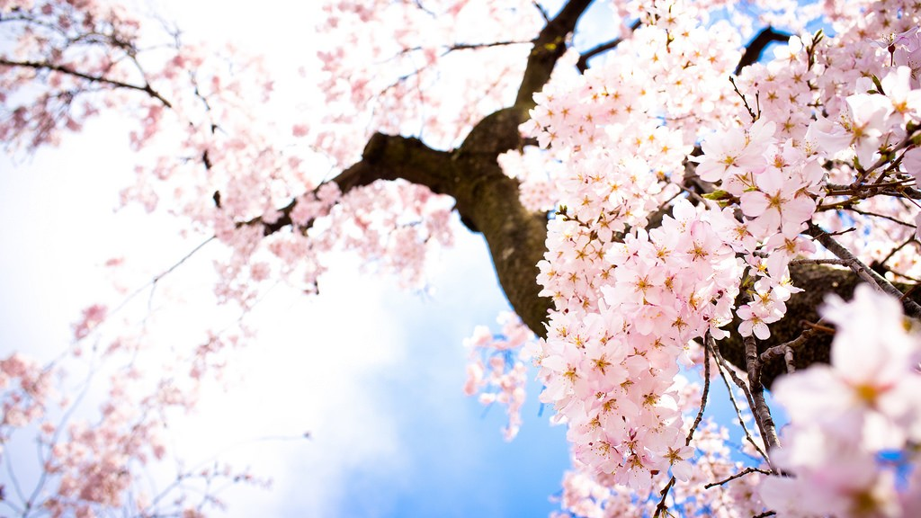 Falling Cherry Blossoms Wallpaper Haiku Poetry About Japan S Cherry Blossoms