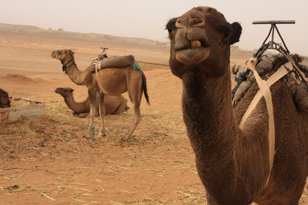 How Travellers Can Help Camels In Morocco
