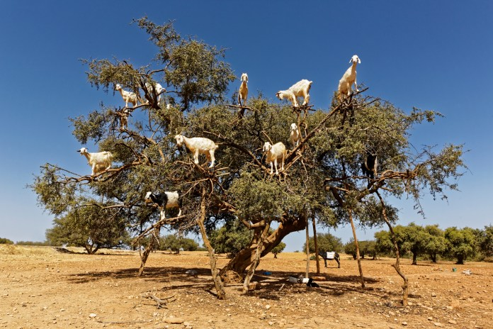 The Story Behind Bizarre Tree-Climbing Goats of Morocco