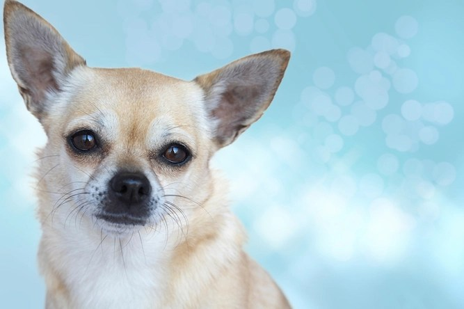Five reasons why this chihuahua would be a better prime minister than Boris Johnson