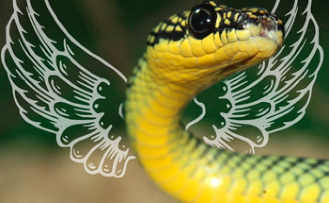 Scientists Solve The Mystery Behind Asia S Flying Snakes