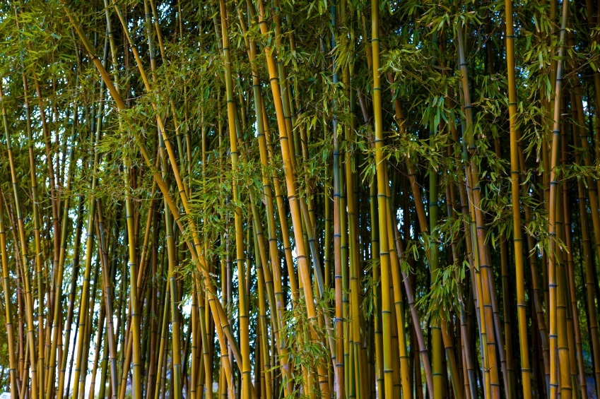 golden bamboo for sale
